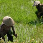 vietnam rice paddy