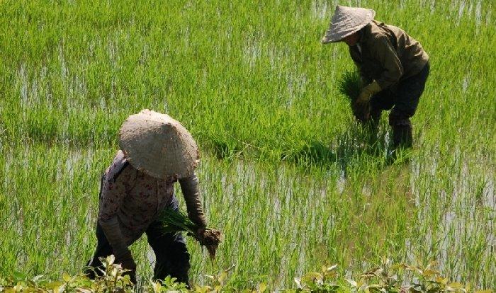 vietnam-rice-paddy